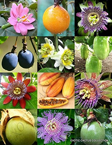 Amazoncom Passiflora Mix Passion Fruit Exotic Edible Tropical
