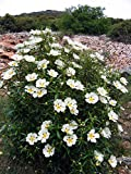 Seeds PACAKGE ONLY NOT Plants: Cistus Ladanifer (Seeds)