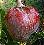 Red Custard Apple Tree (10 Seeds) AKA bullock's Heart,Jamaican Apple ! Rare