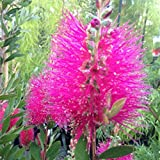 Neon PINK BOTTLE BRUSH callistemon prestige 100 seeds