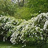 20 Seeds of Pearlbush / Exochorda Racemosa