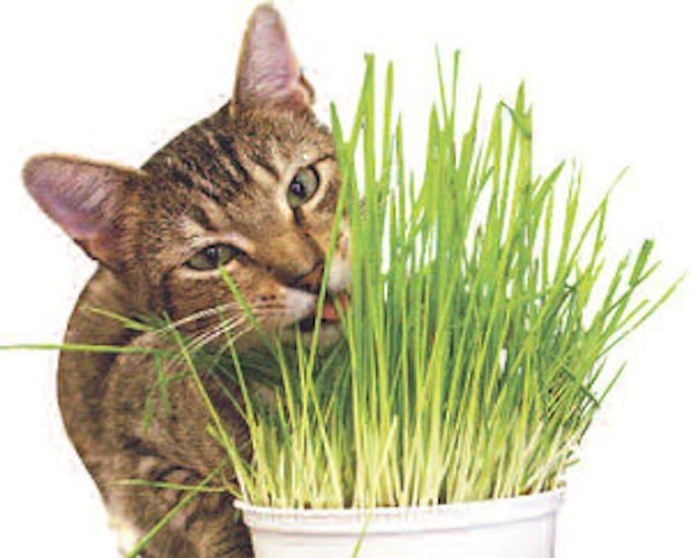 Todd's Seeds, Wheatgrass Seeds, One Pound, Cat Grass Seeds, Hard Red Wheat : Cat Grass : Garden & Outdoor