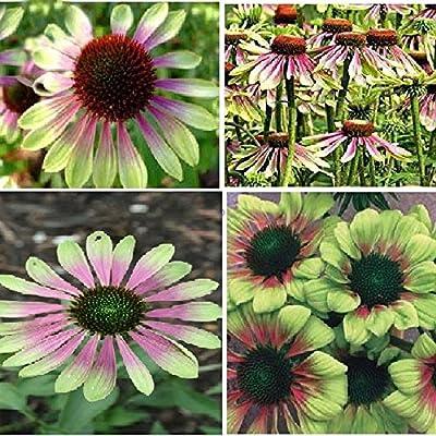 Best Garden Seeds Heirloom Green Envy Echinacea Coneflower Perennial Flowers, 100 Seeds, Medium-Sized Flower Light Fragrant