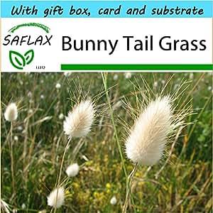 SAFLAX - Gift Set - Bunny Tail Grass - 100 seeds - Lagurus ovatus