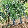 Titan Blueberry Shrub Live Plants