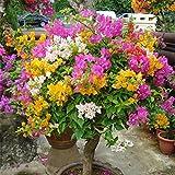 super1798 100Pcs Multicolor Bougainvillea Speetabilis Seeds Home Garden Flower Plant