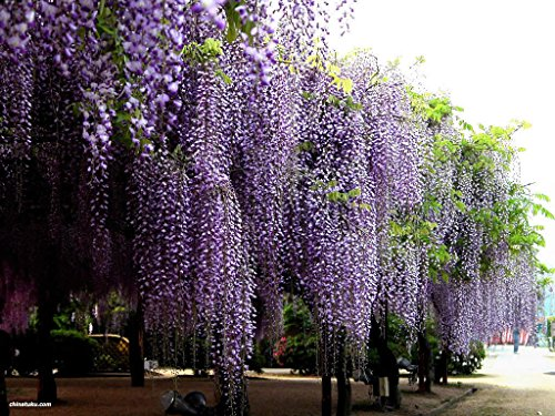 Blue Chinese Wisteria, Wisteria sinensis, Vine Seeds (Fast, Showy, Fragrant) 4 seeds by MW038