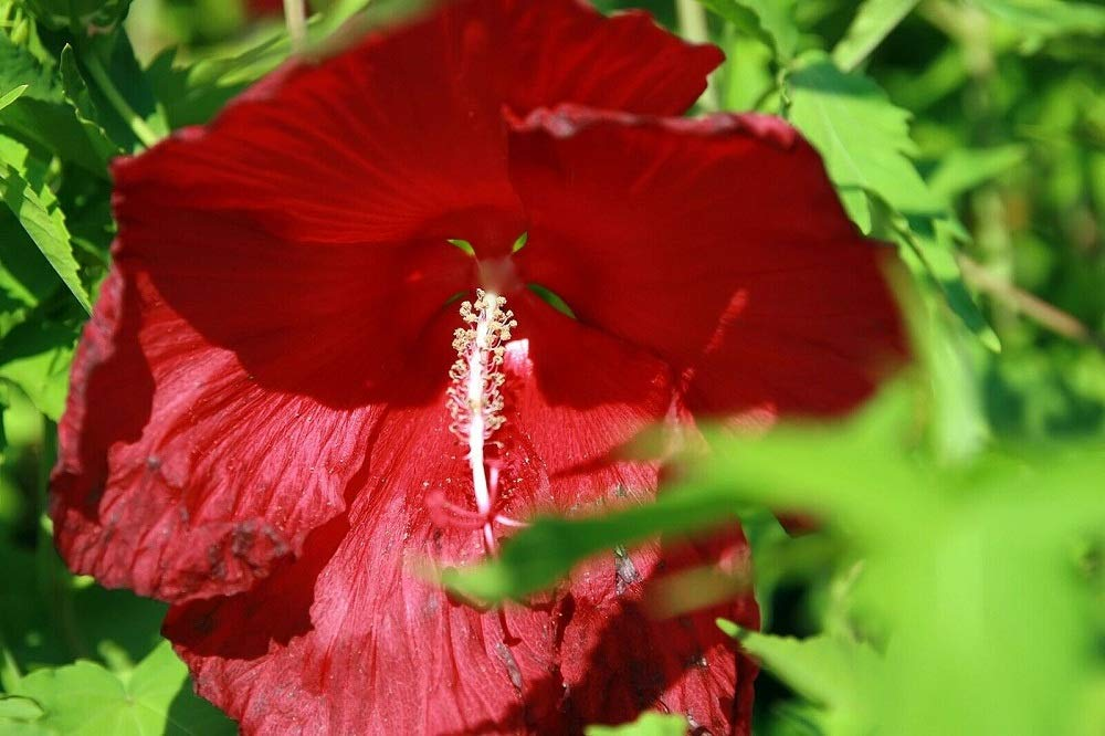 2 Cold Hardy Hibiscus 'Lord Baltimore' Hibiscus moscheutos Live Plant TkSouthern