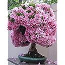 Japanese Sakura Flowering Cherry Blossom Bonsai Tree 10 Seeds