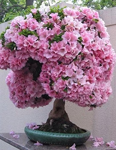 ering Cherry Blossom Bonsai Tree 10 Seeds ()