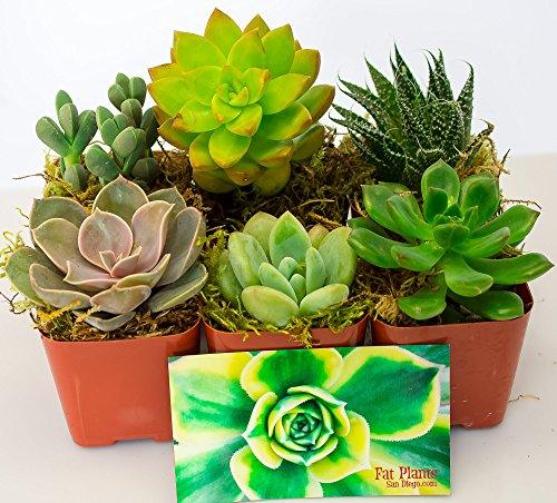 Fat Plants San Diego Succulent Plants (6) (Fat Six)