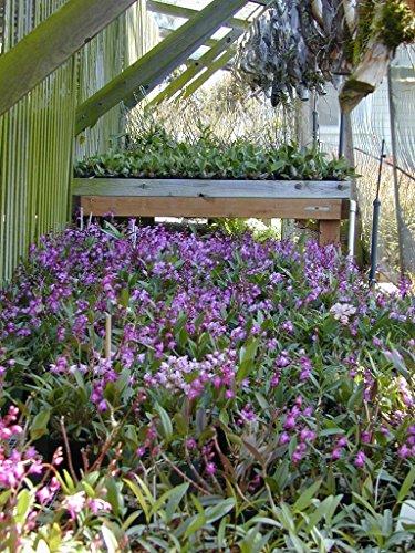 - Dendrobium kingianum - Orchid Plant - Fragrant - Easy-Grower - Indigenous to Australia