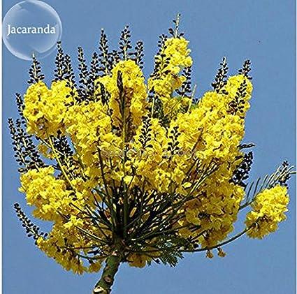 Amazon.com: Nueva schizolobium parahyba Amarillo Jacaranda ...