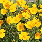Outsidepride Lance-leaved Coreopsis - 5000 Seeds