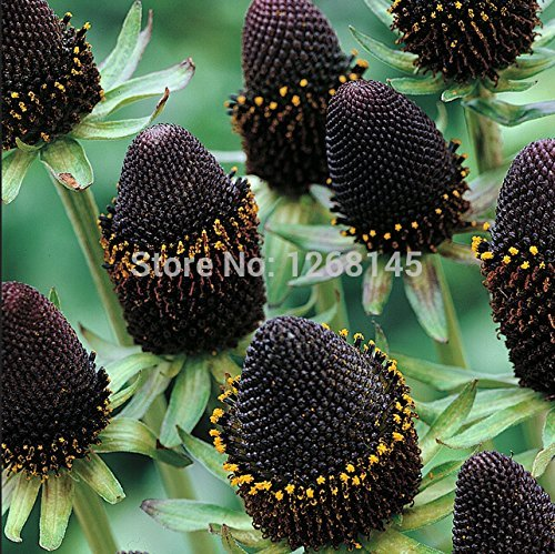 Rare flower,50pcs/lot Rudbeckia hirta Coneflower, 'Green Wizard' flower seed beautiful bonsai plant home garden free shipping ()