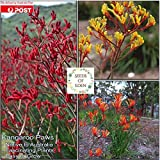 "80: Kangaroo paw""Mixed Colour"" Seeds(anigozanthos flavidus); Native Plant"