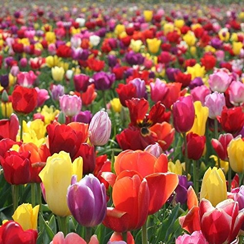 Tulip Bulbs - Landscaper Mix - Bag of 100, Mixed by Eden Brothers