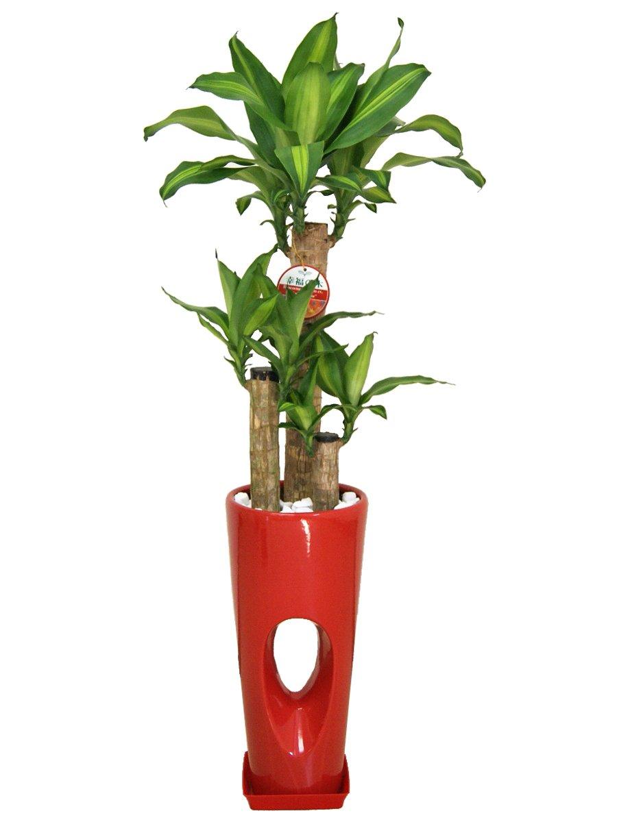 観葉植物 幸福の木(ドラセナ)7号穴高陶器鉢(赤) B00L8V4AD8 赤 赤