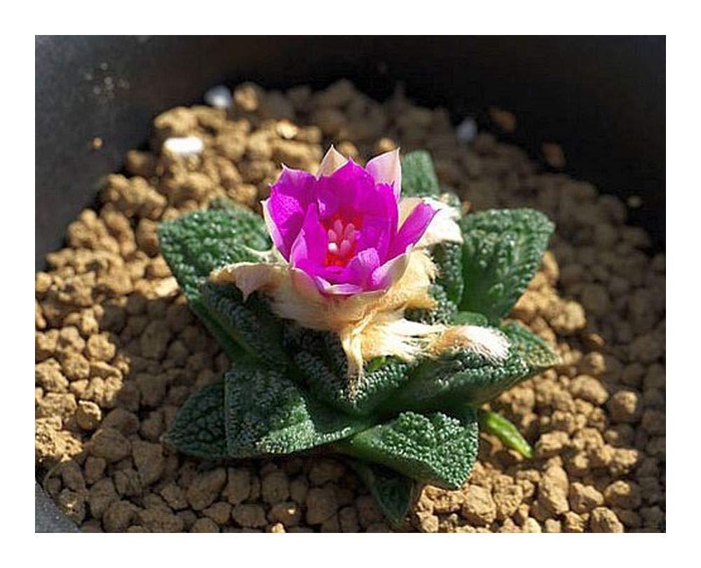 Ariocarpus fissuratus v. hintonii - Living Rock Cactus - 10 seeds Exotic Plants