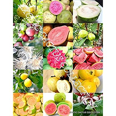 GUAVA FRUIT MIX exotic tropical guayaba rare plant Psidium guajava seed 15 SEEDS : Garden & Outdoor