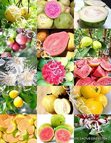 GUAVA FRUIT MIX tropical EDIBLE good guayaba rare Psidium guajava seed 100 SEEDS by exotic_cactus_collection