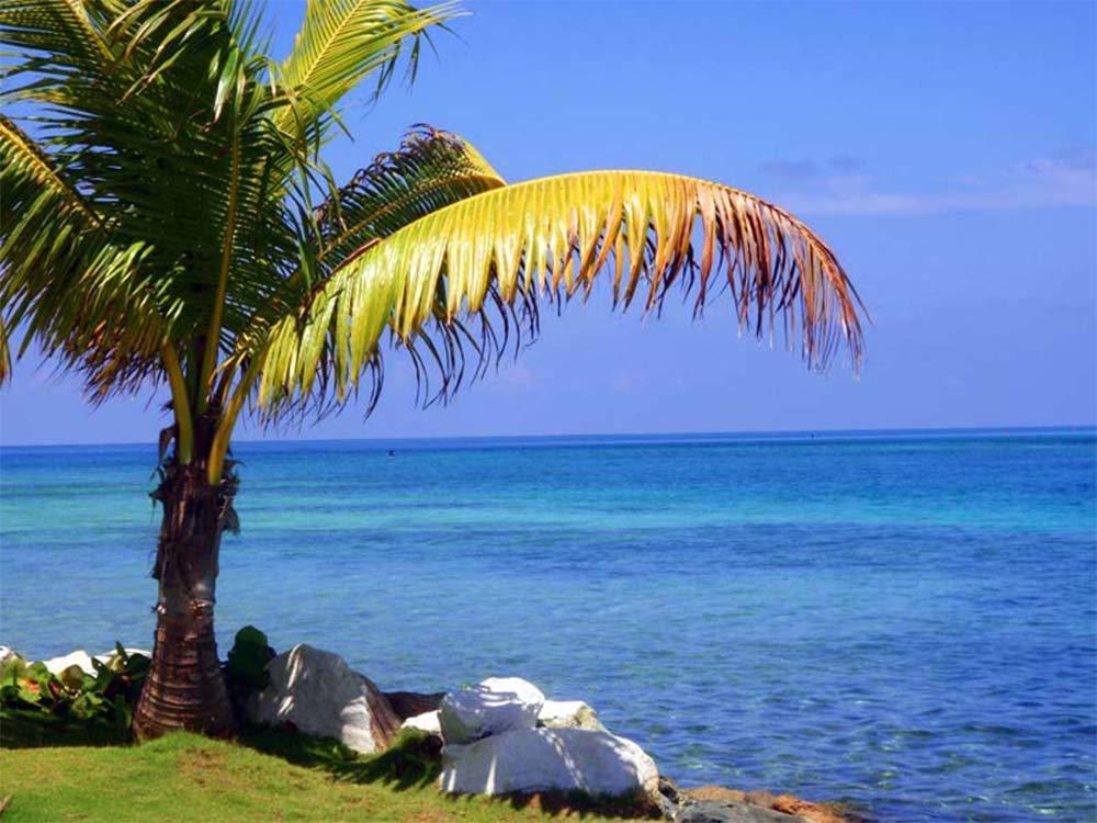 AMERICAN PLANT EXCHANGE Coconut Palm Tree Exotic Indoor/Outdoor Tropical Specimen Live Plant, 6'' 1 Gallon Pot, Cocos Nucifera by AMERICAN PLANT EXCHANGE (Image #5)