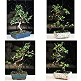 Fukien Tea Bonsai with 6'' Ceramic Pot Plant Garden Hooseplnat Indoor Tree Live