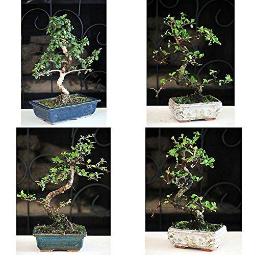Fukien Tea Bonsai with 6'' Ceramic Pot Plant Garden Hooseplnat Indoor Tree Live by gk_usa_mall