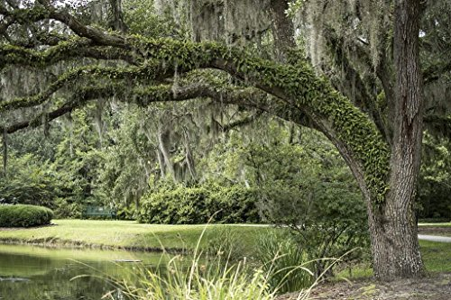 - Photograph| Spanish moss-draped trees at Brookgreen Gardens, a vast complex of sculpture gardens, ecosystem trails 3 Fine Art Photo Reproduction 44in x 30in