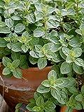 SS0144 Italian Oregano Live Herb Plant Kitchen Indoor Outdoor Garden Yard Best Gift NEW