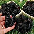 100pcs Black Raspberry Blackberry Seeds Fruit Seed Juicy Delicious Nutritious