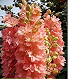 Annual flowering plant grows up to 80-120 cm (30-50 in.). Irregular shaped, salmon flowers, diameter 2-3 cm (1 in.) collected in spike inflorescences. Likes sheltered sites. Blooms from June to September. Use for flower beds, group plantings and cutt...