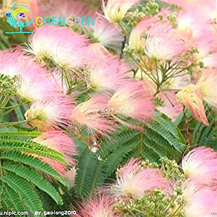 Amazon 20 pieces bonsai albizia flower seeds called mimosa 20 pieces bonsai albizia flower seeds called mimosa silk tree seed rare garden potted plants rainbow mightylinksfo