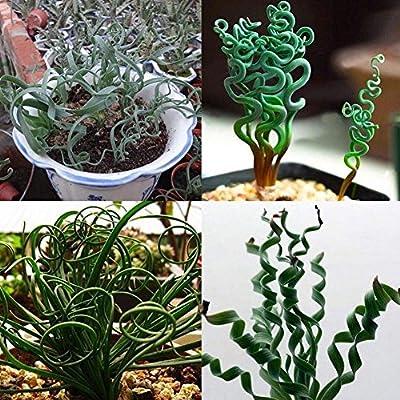 Kuizhiren1 Semillas de plantas, semillas para decoración del hogar ...
