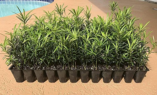 "Podocarpus Macrophyllus Japanese Yew - 3 Live Plants 2"" Pots - Evergreen Privacy Hedge"