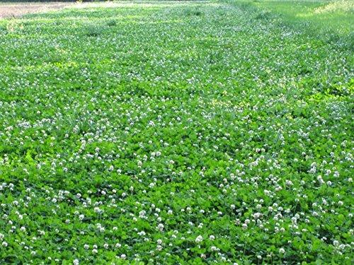 Durana Food Plot Clover Seeds - 3 Lbs. (Plants 1/2 Acre)