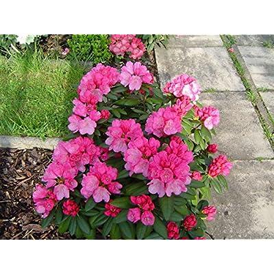 Rhododendron Hachmann's Polaris Two Gallon Plant : Garden & Outdoor
