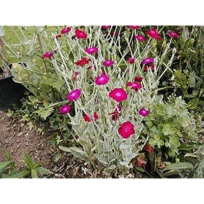 Rose Campion, Sun Perennial! Pink Flower 150 Seeds! GroCo : Garden & Outdoor
