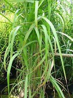 10 Pflanzen Töpfe Riesen Chinaschilf Bambus Schilf Gräser