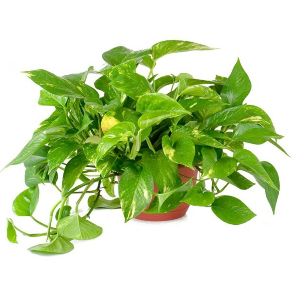 AMERICAN PLANT EXCHANGE Golden Pothos Indoor/Outdoor Air Purifier Live Plant, 6'' Pot, Clean Toxins by AMERICAN PLANT EXCHANGE