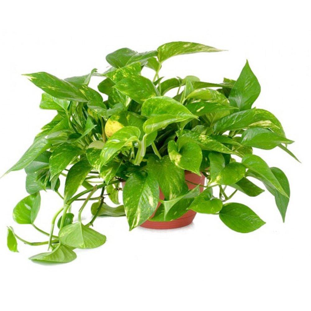AMERICAN PLANT EXCHANGE Golden Pothos