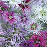 Dianthus, Rainbow Loveliness Mix (2000 Flowers Seeds) Soft, Feathery . Perennial