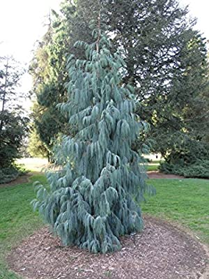 Kashmir Cypress, Cupressus cashmeriana, Tree Seeds (Fragrant Weeping Evergreen) 200 seeds