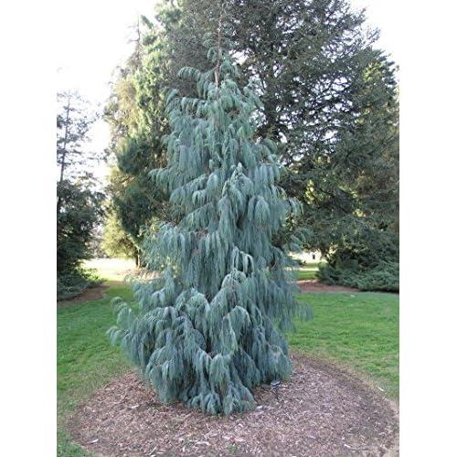 Kashmir Cypress, Cupressus cashmeriana, Tree Seeds (Fragrant Weeping Evergreen) 200 seeds supplier