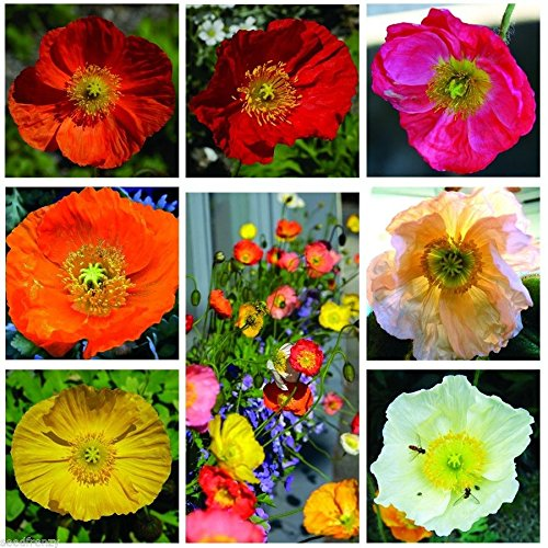 Iceland poppy mix color 1000 seeds Lovely Garden FlowersEasy grow CombSH (Poppy Garden Grow Pot)