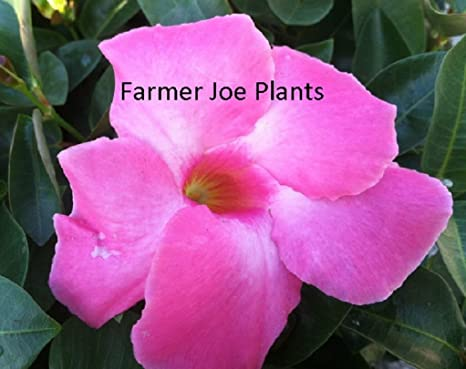 Amazon Mandevilla Vine Pink 2 Plants 3 Pot True Vining