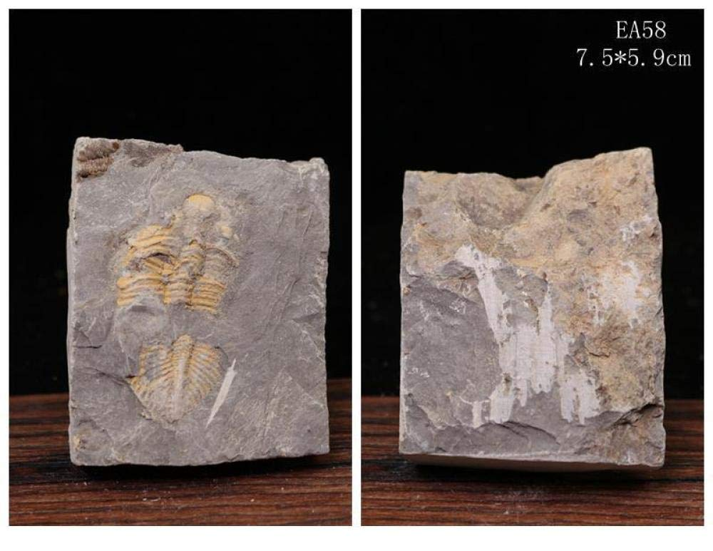 삼엽충 화석 판 모로코 화석 수집 및 교육 목적을위한 실제 화석