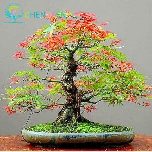 (Shopmeeko 30pcs Japanese Red Maple Plants Rare Rainbow Color Very Beautiful Japan Plants for DIY Home Garden Bonsai Tree Giftpin: Green)