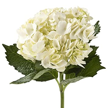 Amazon wholesale hydrangeas 40 white fresh cut format wholesale hydrangeas 40 white mightylinksfo