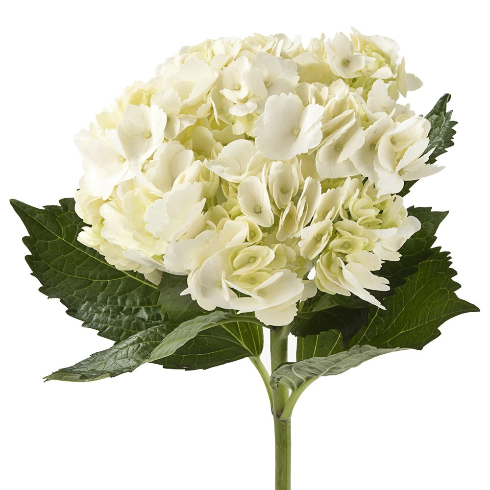 Wholesale Hydrangeas (10 White)